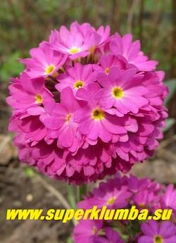 """Примула мелкозубчатая """"ТЕМНО-РОЗОВАЯ"""" (Primula denticulata) соцветие крупным планом, НОВИНКА! ЦЕНА 300 руб (1 шт)"""