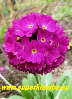 """Примула мелкозубчатая """"СВЕКОЛЬНАЯ"""" (Primula denticulata)  соцветие крупным планом, НОВИНКА! ЦЕНА 300 руб (штука)"""