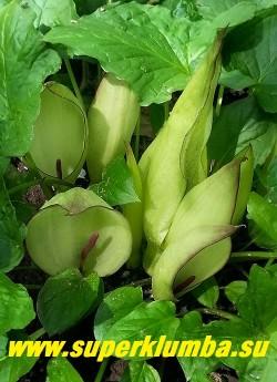 АРОННИК ВОСТОЧНЫЙ (Arum оrientale)  Цветущий аронник. Листва сочная, копьевидная,  по форме напоминает листву  калл. Неприхотлив, морозоустойчив, предпочитает влажную полутень под деревьями. НОВИНКА! ЦЕНА 150 руб (деленка)