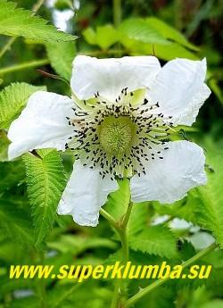 ТИБЕТСКАЯ МАЛИНА (Rubus rosifolius). Белые цветки достигают до 4 см в диаметре.  Эта культура великолепно выполняет роль живой колючей ограды, хорошо смотрится среди хвойных деревьев. Для посадки подойдет солнечное место,  чтобы она росла только в отведенном для нее месте, по периметру участка следует вкопать вглубь почвы ограждение. НОВИНКА! ЦЕНА 500 руб (3 шт)