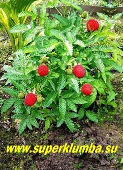 ТИБЕТСКАЯ МАЛИНА (Rubus rosifolius). Другие ее названия – земляничная, розолистная,  клубника-малина. Тибетская малина - невысокий около 40-70 см, неприхотливый полукустарник округлой формы с нежно-зелеными листочками, зубчатыми по краю.  Белые цветки достигают до 4 см в диаметре и сменяются очень декоративными крупными ярко-красными съедобными  ягодами по вкусу напоминающими землянику, но не такими сладкими. Быстро разрастается и плодоносит на побегах текущего года с конца июля до заморозков. НОВИНКА! ЦЕНА 500 руб (3 шт)