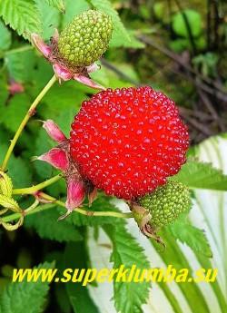 ТИБЕТСКАЯ МАЛИНА (Rubus rosifolius).  Ягоды раскрывают свой вкус в варенье, сохраняют форму и цвет, подходят для украшения различных кондитерских изделий и выглядят просто великолепно. Редкий в наших садах  гость. НОВИНКА! ЦЕНА 500 руб (3 шт)