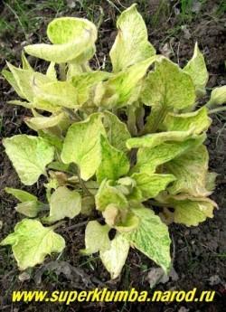 БРУННЕРА КРУПНОЛИСТНАЯ «Спринг еллоу» (Вrunnera macrophylla «Spring yellow») Редкий и очень красивый сорт с невероятно яркой весенней листвой, при распускании  она чисто-желтая, затем появляется зеленый крап, который постепенно заполняет лист полностью. Цветет в мае-июне. Высота 30 см. ЦЕНА 300 руб (делёнка)