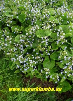 БРУННЕРА СИБИРСКАЯ или НЕЗАБУДОЧНИК (Brunnera sibirica) одно из лучших весенних растений, крупнее и эффектней бруннеры крупнолистной. Образует не отдельный кустик, а заросль из листьев.   Нарастает быстро. Высота 20-25 см. Цветет в мае -июне 25 дней. ЦЕНА 150 руб (2 шт)