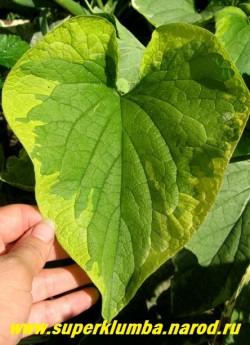 БРУННЕРА КРУПНОЛИСТНАЯ «Хендспен Крим» (Вrunnera macrophylla »Hadspen Cream») Лист крупным планом. ЦЕНА 250 руб (делёнка)