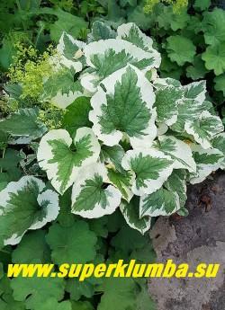 БРУННЕРА КРУПНОЛИСТНАЯ «Вариегата» (Вrunnera macrophylla «Variegata»)  Бруннера с манжеткой мягкой. ЦЕНА 300 руб (делёнка)