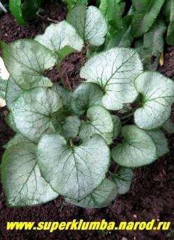 БРУННЕРА КРУПНОЛИСТНАЯ «Лукинг Гласс» (Brunnera macrophylla «Looking Glass»)  ЦЕНА 250 руб (делёнка)