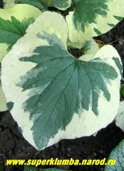 БРУННЕРА КРУПНОЛИСТНАЯ «Вариегата» (Вrunnera macrophylla «Variegata») Лист крупным планом. ЦЕНА 300 руб (делёнка)