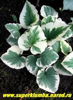 БРУННЕРА КРУПНОЛИСТНАЯ «Вариегата» (Вrunnera macrophylla «Variegata») очень эффектный яркий сорт, листва   имеет широкую кремово-белую кайму, которая заходит на зеленый фон глубокими белыми языками, создавая игру пепельно-зеленых оттенков. Высота до 30 см,  ЦЕНА 300 руб (делёнка)