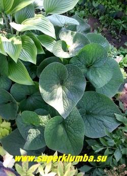 БРУННЕРА КРУПНОЛИСТНАЯ «Спринг еллоу» (Вrunnera macrophylla «Spring yellow») Летняя бархатистая малахитово-зеленая листва. Листья сердцевидные крупные, их края приподняты вверх в форме чаши. ЦЕНА 300 руб (делёнка)