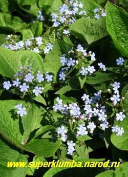 Над сердцевидными листьями БРУННЕРЫ СИБИРСКОЙ возвышаются похожие на незабудки темно-голубые цветки с белым глазком, до 0,5 см в диаметре, собранные метельчатые соцветия. Незаменимое растение для быстрого создания зеленых островков в  затененных и переувлажненных участков в глубине сада. ЦЕНА 150 руб (2 шт)