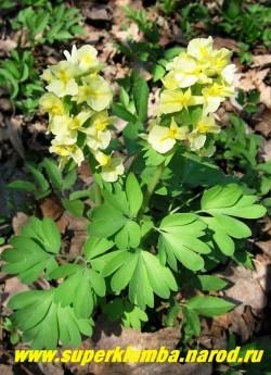 ХОХЛАТКА ПРИЦВЕТНИКОВАЯ (Corydalis bracteata) Красивая хохлатка с лимонно—желтыми крупными цветами, собранными в плотное кистевидное соцветие. Цветет обильно в начале мая 25-30 дней . Высота 15-25см. Неприхотливая. ЦЕНА 150 руб (1 шт)