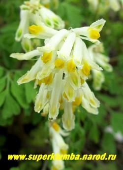 ХОХЛАТКА СЕРНОЖЕЛТАЯ (Corydalis ochroleuca) Цветонос крупным планом. Начинает цвести ранней весной вместе с подснежниками и продолжает цветение до наступления сильных осенних заморозков. Неприхотлива, можно сажать на полном солнце и в тени. НОВИНКА! НЕТ В ПРОДАЖЕ