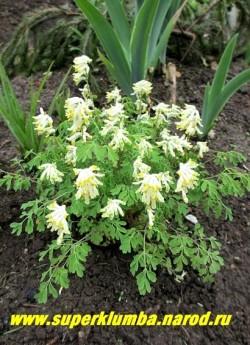 ХОХЛАТКА СЕРНОЖЕЛТАЯ (Corydalis ochroleuca) Еще один представитель корневищных хохлаток, имеющий ценное отличие от других- цветение практически весь сезон. Цветы почти белые с желтым пятном. Высота 15-20 см. НОВИНКА! НЕТ В ПРОДАЖЕ