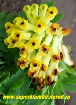 ХОХЛАТКА БЛАГОРОДНАЯ (Corydalis nobilis) Цветонос крупным планом. Хорошим местом посадки для нее будет полутенистое место с плодородной почвой. При недостатке влаги может переходить в состояние покоя. НОВИНКА! ЦЕНА 600 руб ( 1 шт)