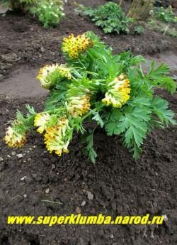 ХОХЛАТКА БЛАГОРОДНАЯ (Corydalis nobilis) шикарная корневищная хохлатка с крупной розеткой ажурных листьев и с сильно развитым стержневым корнем. Достигает высоты 30-60 см. Цветет с начала мая в течение 15-20 дней. Цветки желтые, с оранжевым отгибом, собраны в плотные, чуть поникающие соцветия. НОВИНКА! ЦЕНА 600 руб (1 шт)