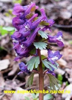 ХОХЛАТКА ГАЛЛЕРА или ПЛОТНАЯ (Corydalis Halleri= Corydalis solida) соцветие крупным планом, эфемероид. ЦЕНА 250 руб (3 шт)