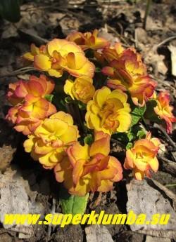 Примула бесстебельная махровая БЕЛАРИНА НЕКТАРИН (Primula acaulis Belarina   Nectarin) Густо махровые желтые с малиновым румянцем цветы, высота 12 см, цветет в мае. НЕТ В ПРОДАЖЕ