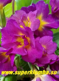 Примула бесстебельная полумахровая ОТ КУТЮР крупные полумахровые и простые малиново-розовые с желтой серединкой цветы. НОВИНКА! ЦЕНА 450 руб (штука) НЕТ НА ВЕСНУ