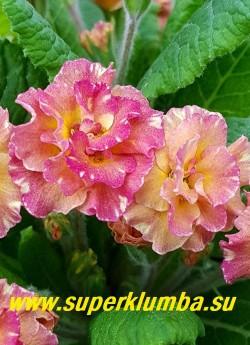 Примула бесстебельная махровая САНДЭ (Primula vulgaris Sundae) . Цвет сложный- на персиковом фоне очень мелкий розовый крап, усиливающий розовые тона в процессе цветения. НОВИНКА! ЦЕНА 500 руб (штука)