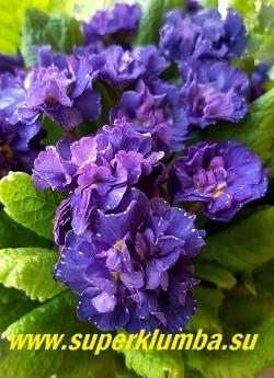 Примула бесстебельная махровая БЕЛАРИНА КОБАЛЬТ БЛУ (Primula Belarina Cobalt Blue)  примула с махровыми  кобальтово-синими  цветами. НОВИНКА! ЦЕНА 500 руб,  НЕТ НА ВЕСНУ.
