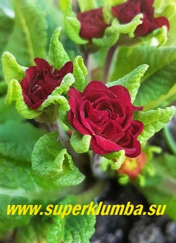 Примула бесстебельная махровая БЕЛАРИНА ВАЛЕНТАЙН (Primula acaulis Belarina Valentine)  Форма цветка «jack-in-the-green», эта форма имеет увеличенные прицветники, образующие зеленый воротник цветка. Эти необычные прицветники сохраняют свой зеленый цвет после того, как цветок исчез, оставаясь очень привлекательным в течение долгого времени. НОВИНКА! ЦЕНА 500 руб (штука)