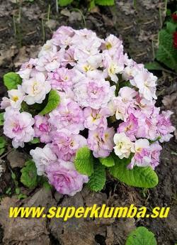 Примула бесстебельная махровая БЕЛАРИНА ПИНК ШАМПАНЬ (Primula Belarina Pink Champagne) сорт с нежно розовыми ароматными цветами. Цветы распускаются кремово- белыми и розовеют в процессе цветения. НОВИНКА! ЦЕНА 500 руб