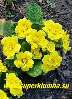 Примула бесстебельная махровая БЕЛАРИНА  БАТТЕР ЕЛЛОУ (Primula acaulis Belarina Butter Yellow) Форма цветка «jack-in-the-green». Густо махровые желтые цветы в манжете из зеленых прицветников. Высота 12 см, цветет в мае. ЦЕНА 500 руб