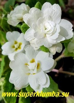 Примула бесстебельная    махровая ДАУН АНСЕЛЬ (Primula vulgaris  Dawn Ansell) множество  махровых белоснежных  цветов, оттененных до совершенства окружающими свежими зелеными оборками листьев. Одна из лучших махровых  форм   «jack-in-the-green».   НОВИНКА! НЕТ НА ВЕСНУ.