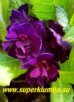 Примула бесстебельная махровая СТРОНГ БИР (Primula vulgaris Strong Beer) Цветки густомахровые, фиолетовые с оттенком пурпура, по форме напоминают маленькую розу. Молодая листва с оттенком красной бронзы, по мере старения становится зелёной. НОВИНКА! ЦЕНА 500 руб (штука) НЕТ НА ВЕСНУ