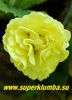 """Примула бесстебельная махровая  ВАЛ ХОРНКАСЛ (Primula vulgaris """"Val Horncastle"""")   Очень привлекательная примулы с крупными бледно-желтыми густомахровыми цветами. Высота 12 см, цветет в мае. НОВИНКА! ЦЕНА 500 руб (штука) НЕТ НА ВЕСНУ."""