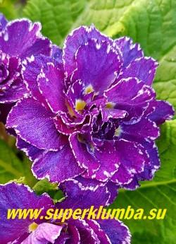 Примула бесстебельная махровая БЕЛАРИНА АМЕТИСТ АЙС (Primula vulgaris Belarina Amethyst Ice) Форма цветка «jack-in-the-green», эта форма имеет увеличенные прицветники, образующие зеленый воротник цветка. Эти необычные прицветники сохраняют свой зеленый цвет после того, как цветок исчез, оставаясь очень привлекательным в течение долгого времени. НОВИНКА! ЦЕНА 500 руб (штука)