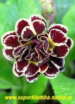 Примула гибридная «ЭЛИЗАБЕТ КИЛЛЕЛЭЙ» (Primula «Elizabeth Killelay») Густо махровые цветы вишневого цвета, каждый лепесток окаймлен и разделен посередине кремовой полосой, высота 12 см, цветет в мае. НЕТ В ПРОДАЖЕ