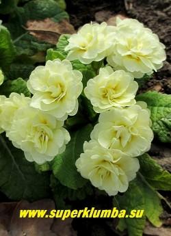 Примула бесстебельная махровая БЕЛАРИНА   КРЕМ (Primula acaulis Belarina  Cream) Густо махровые кремово-белые с желтым основанием лепестков цветы, высота 12 см, цветет в мае. ЦЕНА 400 руб (штука)
