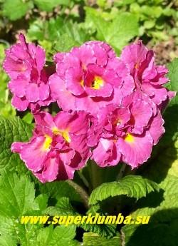 Примула бесстебельная махровая МАРК ВИЙЕТ (Primula vulgaris Mark Viеtte) махровые малиново-розовые c белой изморосью по краю лепестков цветы. НОВИНКА! ЦЕНА 500 руб (штука)