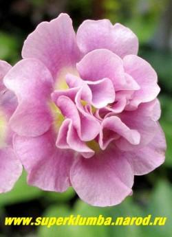 Примула ушковая махровая «СЮЗАННА» (Primula аuricula «Susannah») нежно-розовая со светло желтыми основаниями лепестков махровая примула, высота до 15см, цветет май-июнь, НОВИНКА! ЦЕНА 500 руб (штука) НЕТ НА ВЕСНУ