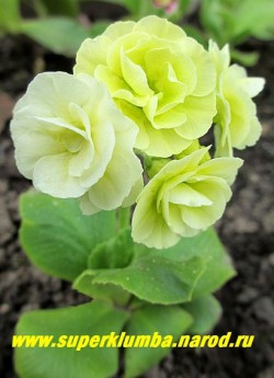 Примула ушковая «ГВЕН БЕЙКЕР» (Primula auricula 'Gwen Baker') махровая салатово-белая примула, по мере роспуска цвет становится почти белым. Высота до 15 см, цветет май-июнь, ЦЕНА 700 руб (1 шт) НЕТ НА ВЕСНУ