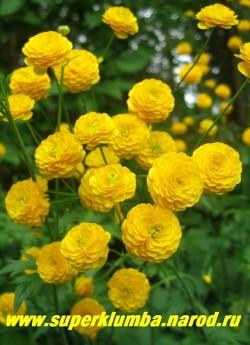 ЛЮТИК ЕДКИЙ «Махровый» (Ranunculus acris f. hortensis) изящные миниатюрные желтые розочки цветут с мая по июнь , любит светлые солнечные места, очень нарядный и неприхотливый лютик, высота куста до 90см, ЦЕНА 250 руб.(делёнка)