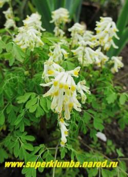 ХОХЛАТКА СЕРНОЖЕЛТАЯ (Corydalis ochroleuca)  Цветы почти белые с желтым пятном. Высота 15-20 см. НОВИНКА! НЕТ В ПРОДАЖЕ