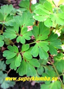 ХОХЛАТКА ИЗВИЛИСТАЯ (Corydalis flexuosa) Листва сизо-зеленая с красными пятнышками у основания листьев. Предпочитает полутень и плодородную хорошо дренированную почву.  ЦЕНА 350 руб (1 дел)