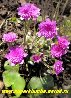 ПЕЧЕНОЧНИЦА БЛАГОРОДНАЯ «РОЗЕА ПЛЕНА» (Hepatica nobilis f. rosea plena)  очаровательная форма печеночницы с махровыми ярко-розовыми цветами , кустик высотой до12 см, листья трехлопастные кожистые, цветет в апреле-мае. ЦЕНА 1500 руб (1 шт)