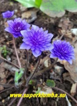 ПЕЧЕНОЧНИЦА БЛАГОРОДНАЯ «ЦЕРУЛЕА ПЛЕНА» (Hepatica nobilis f. Coerulea Plenа) печеночница с махровыми синими цветами , кустик высотой до12 см, листья трехлопастные кожистые, цветет в апреле-мае, разрастается медленно. НОВИНКА! ЦЕНА 2000 руб (1 шт)