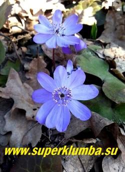 ПЕЧЕНОЧНИЦА ТРАНСИЛЬВАНСКАЯ (Hepatica transilvanica) довольно редкий пока в садах вид с крупными небесно-синими цветами диаметром 3-4,5 см и кожистыми пятилопастными листьями. Высота 8-10 см.  ЦЕНА 800 руб ( шт)