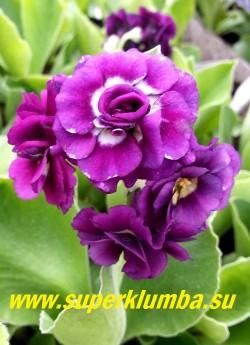 Примула махровая ушковая «КСАВЕР ДИП» (Primula auricula »Xaver Deep») махровая сине-фиолетовая примула с лимонным центром , с ароматом, высота до 15 см, цветет май-июнь, ЦЕНА 250 руб (штука)