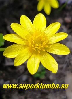 ЧИСТЯК ВЕСЕННИЙ  (Ficaria verna) весеннецветущее почвопокровное растение. Ранней весной он покрывается яркими желтыми звездчатыми цветками, после цветения,  когда   кустарники покрываются  листвой,  полностью исчезает  до следующей весны. Чистяк очень моден,  в Европе им украшают сады почти повсеместно, в Англии существует национальная коллекция чистяков, насчитывающая более 150 форм и сортов.  Культурные формы отличаются разноцветной окраской листьев и лепестков и наличием махровых цветков, которые могут быть белыми, желтыми или оранжевыми.