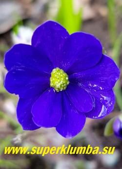 "ПЕЧЕНОЧНИЦА СРЕДНЯЯ ""Миллстрем  Мерлин""(Hepatica x media Millstream Merlin) Цветок крупным планом. НОВИНКА!  ЦЕНА  4000 руб (шт)"