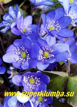 ПЕЧЕНОЧНИЦА БЛАГОРОДНАЯ ФОРМА КРУПНОЦВЕТКОВАЯ    (Hepatica nobilis var.nobilis f.Grandiflora) Цветок крупным планом. НОВИНКА!  ЦЕНА  350 руб (шт)
