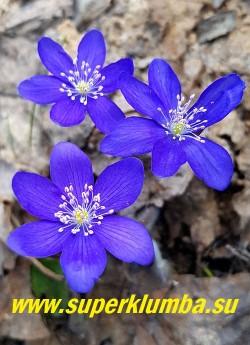 ПЕЧЕНОЧНИЦА БЛАГОРОДНАЯ «ВАЙОЛЕТ» (Hepatica nobilis var. violet) печеночница с темными фиолетово-синими цветами с розовыми тычинками. в полном роспуске цветы становятся темно синими. Высота 12-15 см. Листья кожистые. НОВИНКА! НЕТ В ПРОДАЖЕ