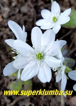 ПЕЧЕНОЧНИЦА БЛАГОРОДНАЯ «АЛЬБА  2» (Hepatica nobilis var. alba )  печеночница с крупными до 4-см в диаметре белыми цветами с белыми тычинками. Высота 12-15 см. Листья кожистые. ЦЕНА 600 руб (1 шт)