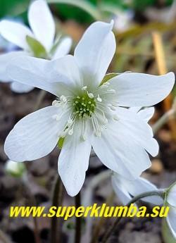 ПЕЧЕНОЧНИЦА БЛАГОРОДНАЯ «АЛЬБА  2» (Hepatica nobilis var. alba ) Цветок крупным планом. НОВИНКА! ЦЕНА 600 руб (1 шт)